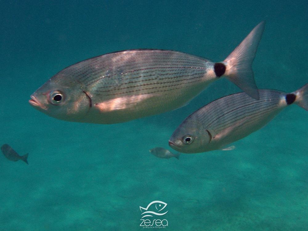 classification des animaux marins de m diterran e les poissons de mediterranee poissons osseux. Black Bedroom Furniture Sets. Home Design Ideas