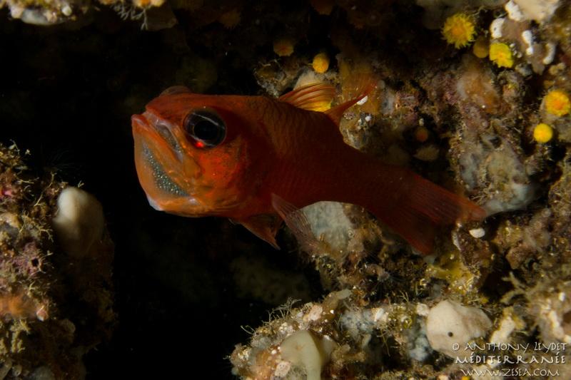 L'apogon, poisson de Méditerranée