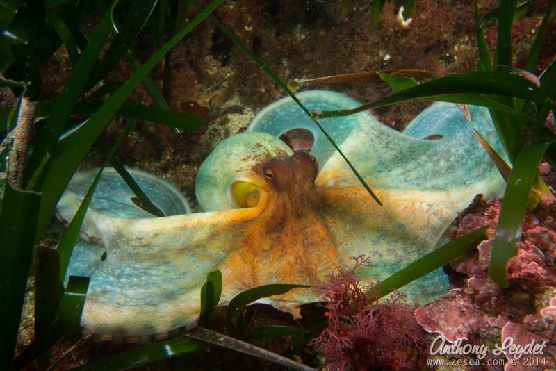 poulpe de Méditerranée