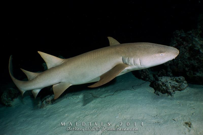Une plongée avec les requins nourrices d'Alimathaa aux Maldives