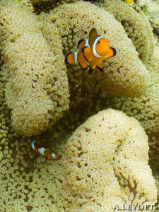 Poisson clown (False anemone fish)