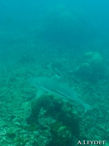 Requin pointe noire de récif (Black tips reef shark)