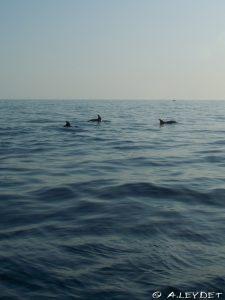 Les dauphins de la côte Bleue