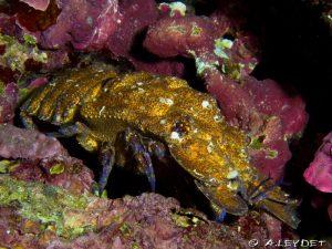 La GRANDE cigale de mer