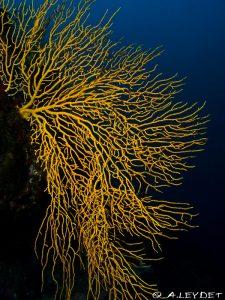 Gorgone jaune