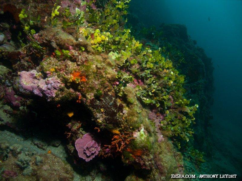 Les algues du coralligène