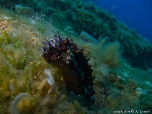 Reproduction des concombres de mer
