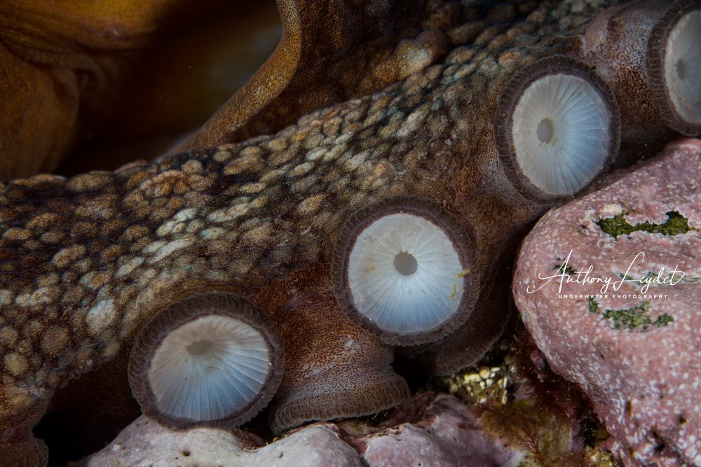 Ventouses de poulpe / Octopus suction caps / Octopus vulgaris