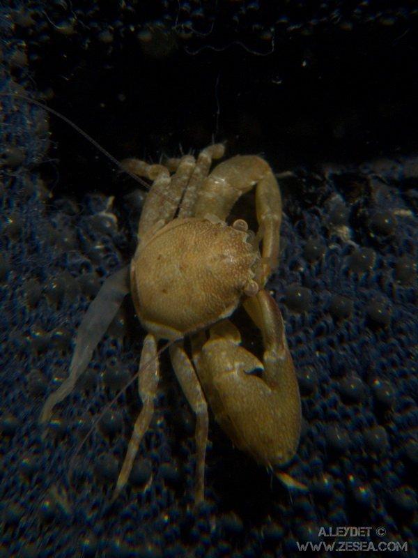 Crabe porcelaine à longues pattes (Pisidia longicornis)