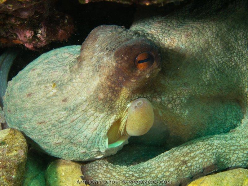 Un beau poulpe à l'abri...