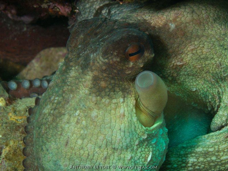 Le siphon du poulpe
