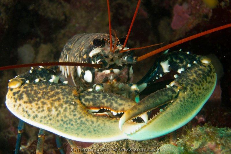 Un homard aux Jardins de Sausset