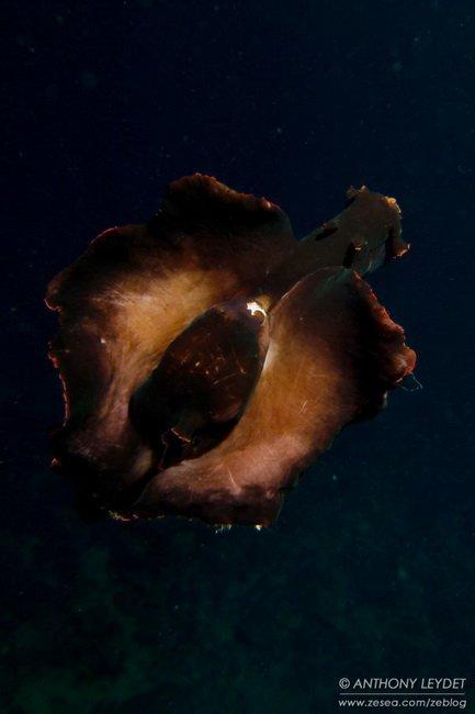 L'envol du lièvre de mer