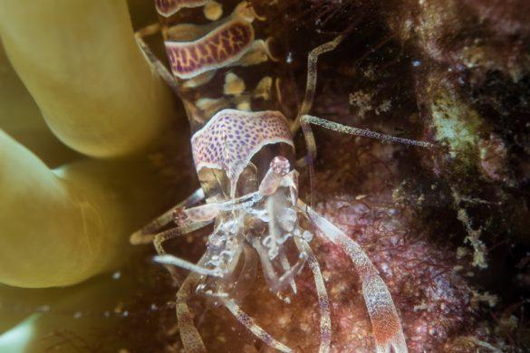 Crevette Periclimenes, la préférée du plongeur bio