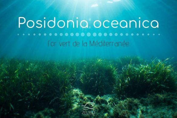 La posidonie, l'or vert de Méditerranée