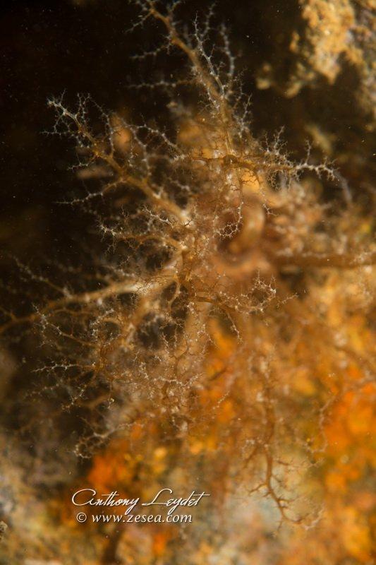 Lèche-doigts de Plancus (Ocnus planci)