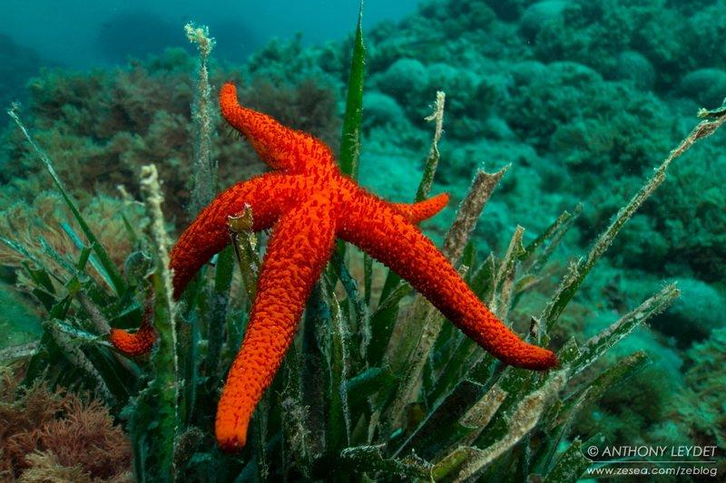 Reproduction des étoiles de mer
