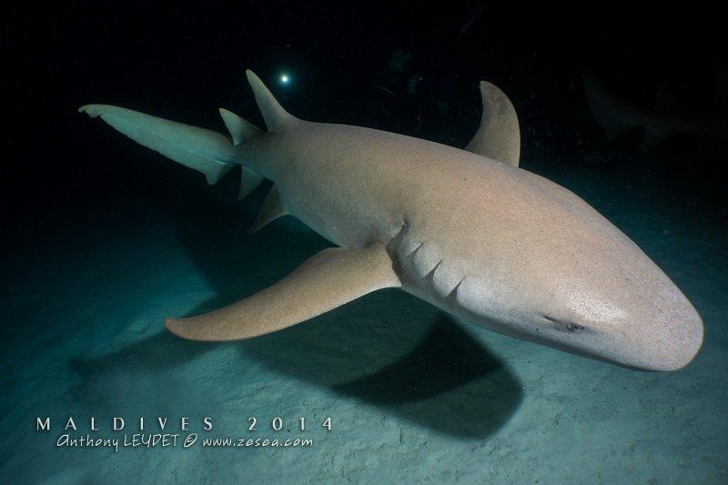 Requin nourrice (Alimathaa)