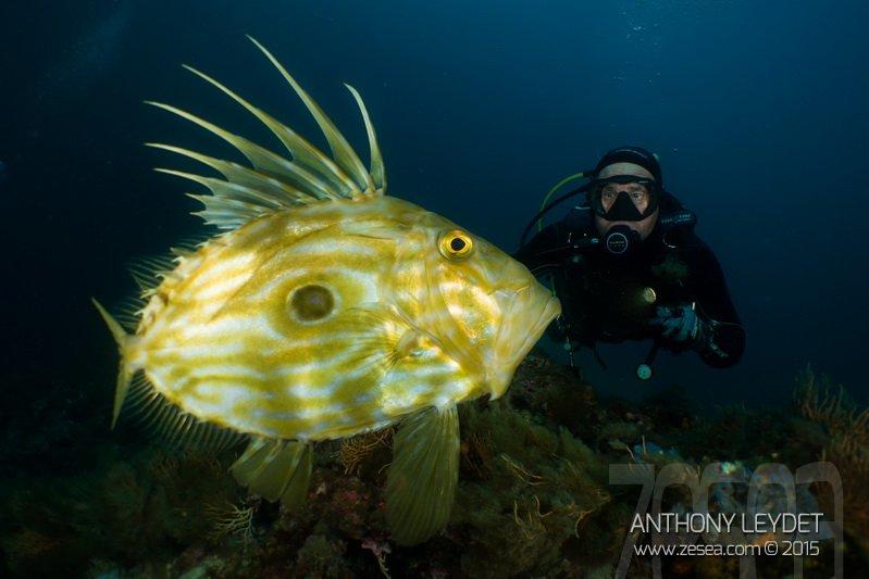 Saint-Pierre, poisson de Méditerranée