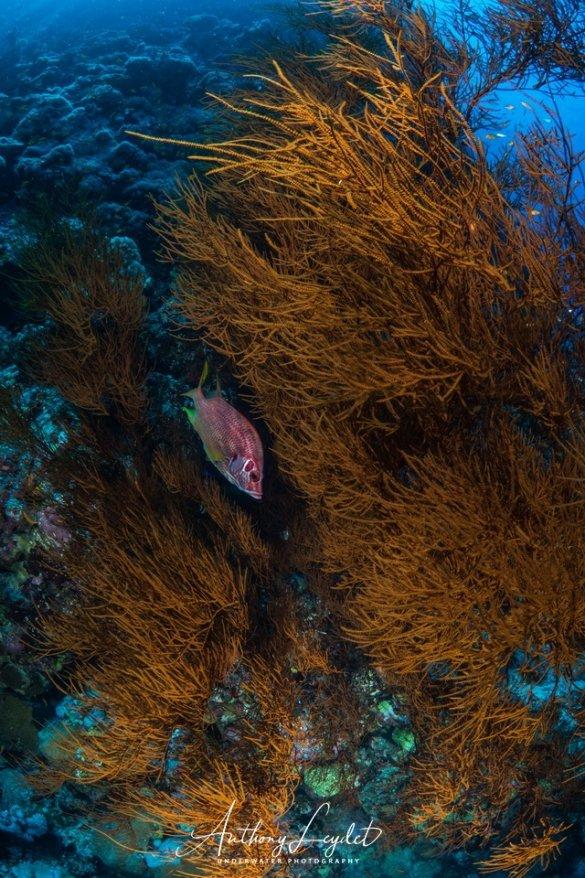 Corail noir en Mer Rouge