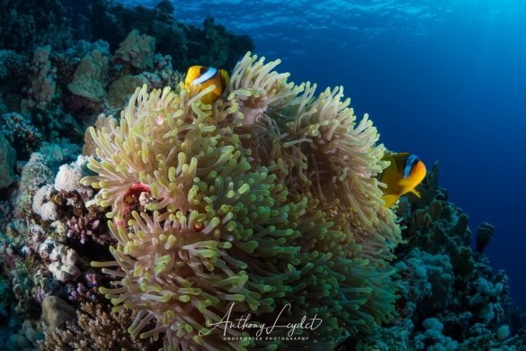 Poissons clown d'Umm Arouk en Mer Rouge