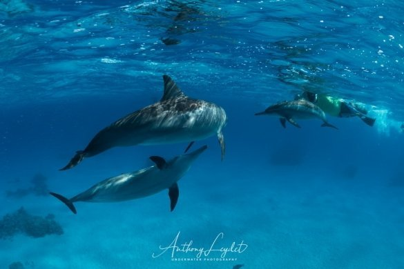Nager avec les dauphins de Sataya en Mer Rouge