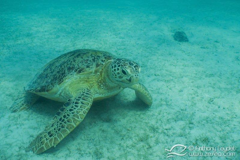 Snorkeling avec une tortue verte aux Perhentians