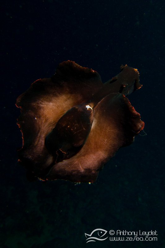 Lièvre de mer dans les calanques de Marseille