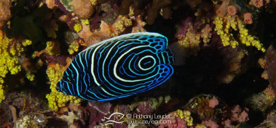 poisson-ange-empereur-juvenile