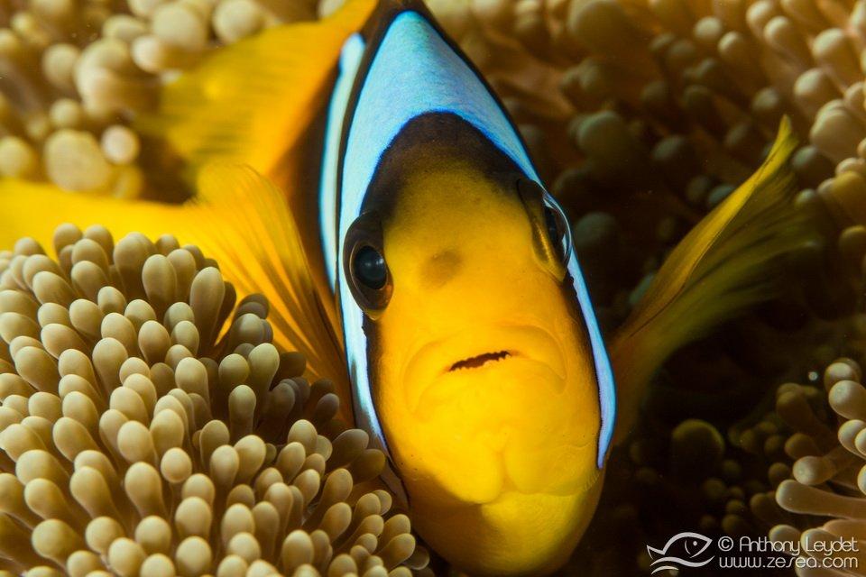 poisson-clown-anemone