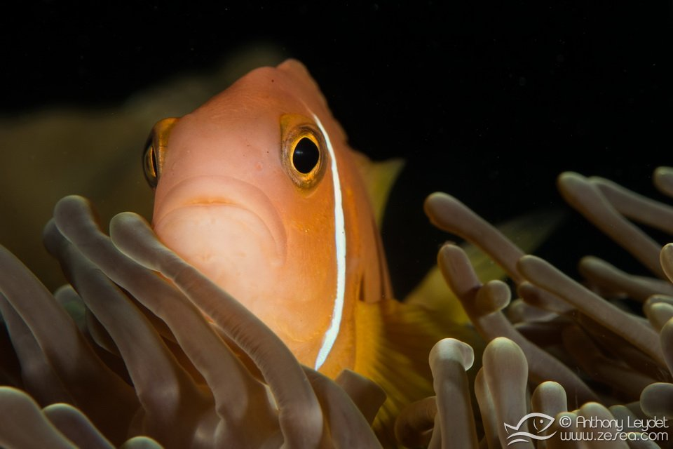 poisson-clown-maldives