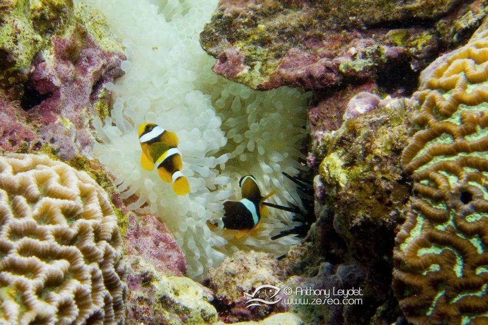 poisson-clown-maurice