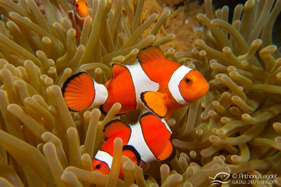 poisson-clown-nemo