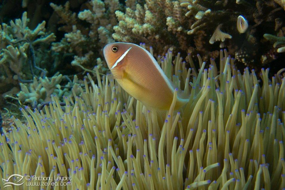 poisson-clown-philippines