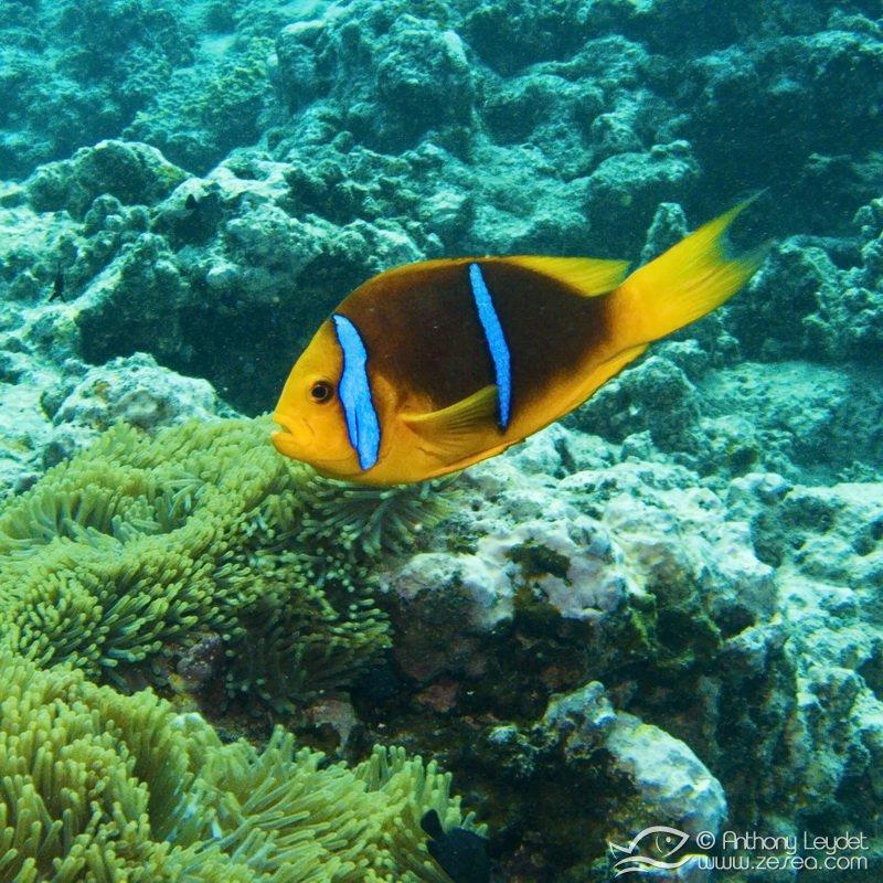 poisson-clown-polynesie