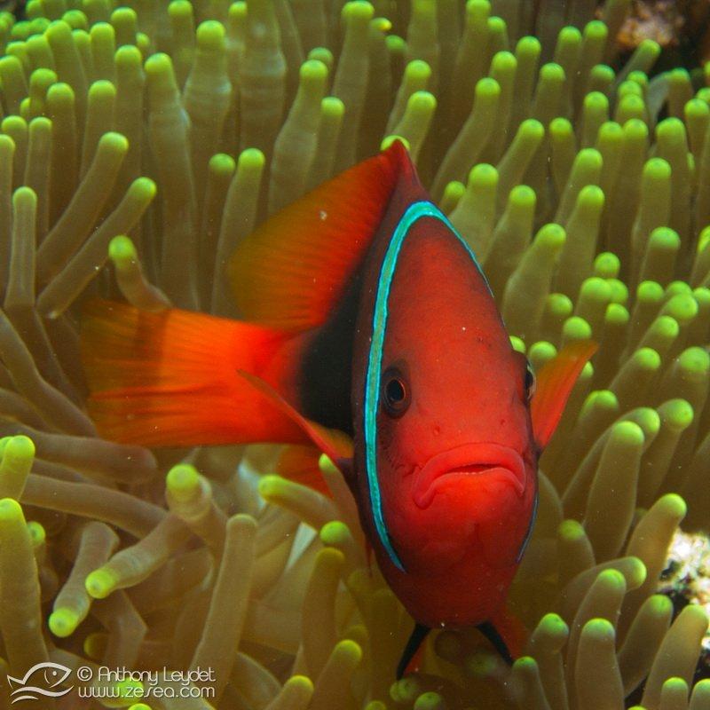 poisson-clown-tomate-malaisie