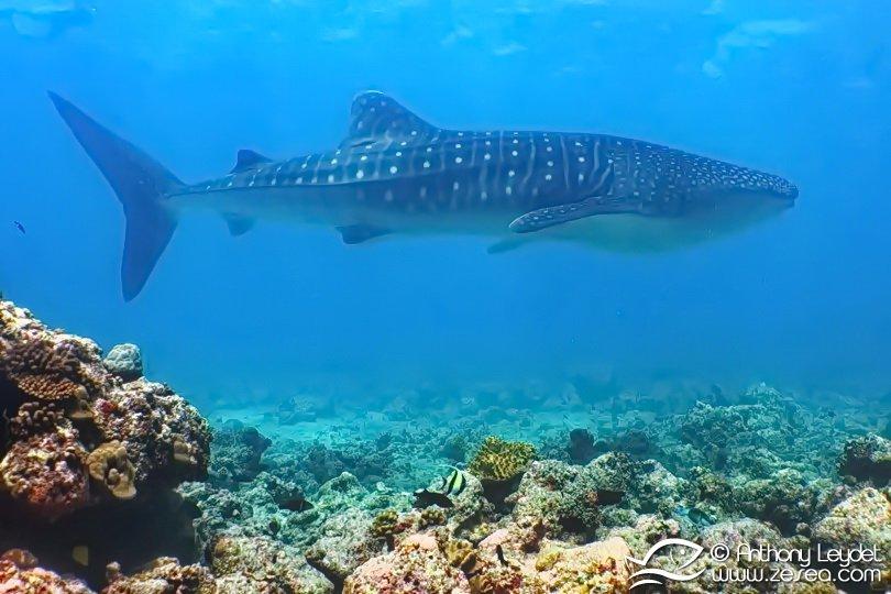 Rencontre avec le requin baleine aux Maldives