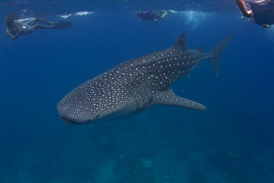 Voir le requin baleine