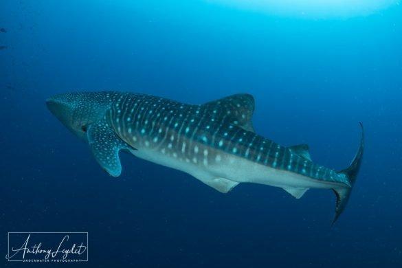 Merveilleuse rencontre avec le requin baleine à Tubbataha