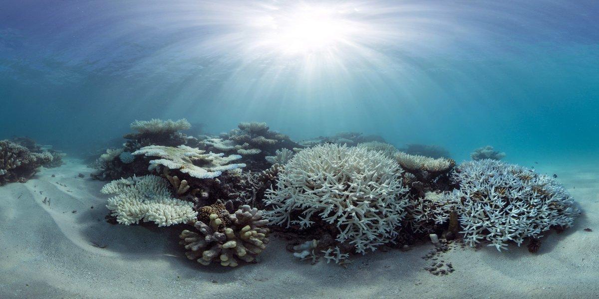 Le corail lorsqu'il blanchit