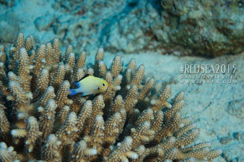 La demoiselle de Mer Rouge booste la photosynthèse des coraux