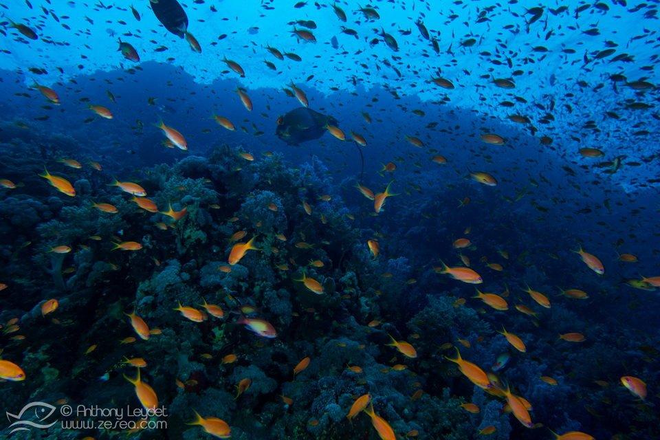 Abondance d'anthias à Rocky island en Mer Rouge