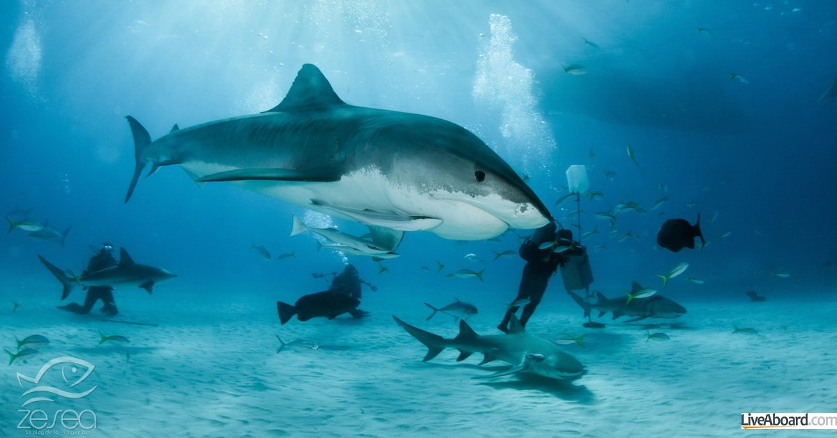 Partir plonger en février aux Bahamas - Tiger Beach