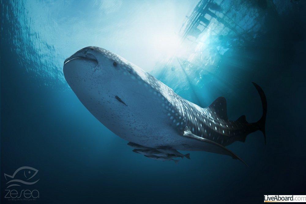 Plonger avec le requin baleine