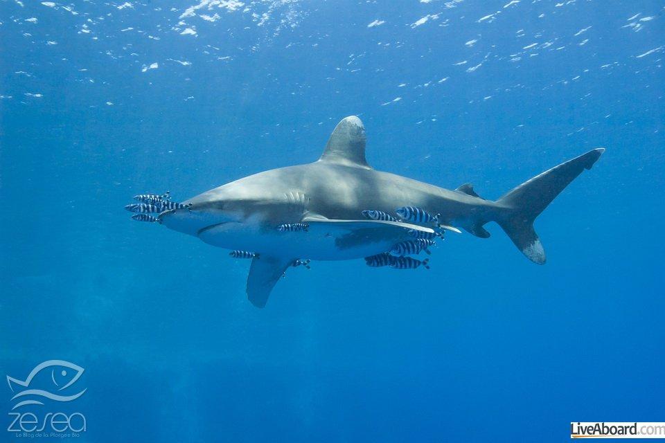 Large oceanic white-tip shark Carcharhinus longimanus under water in the open ocean