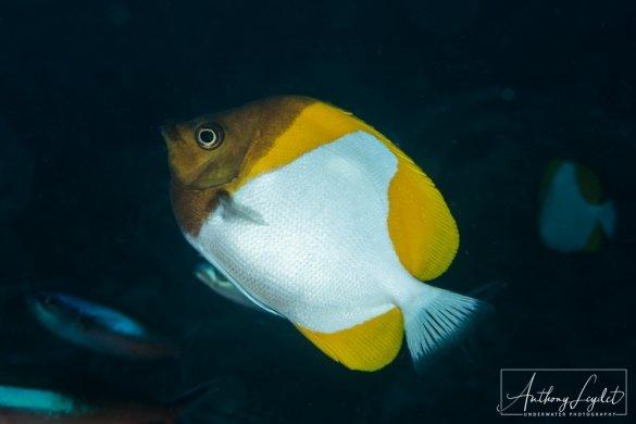 Pyramid butterflyfish (Hemitaurichthys polylepis)