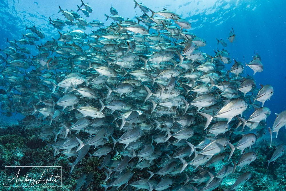 School of bigeye trevallies in Tubbataha