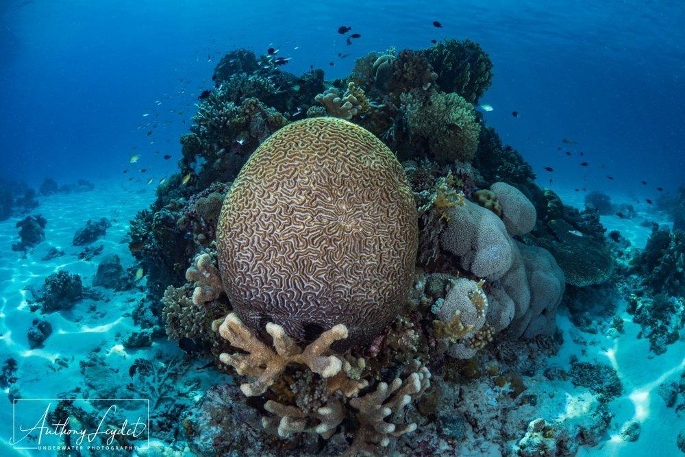Brain coral - Tubbataha