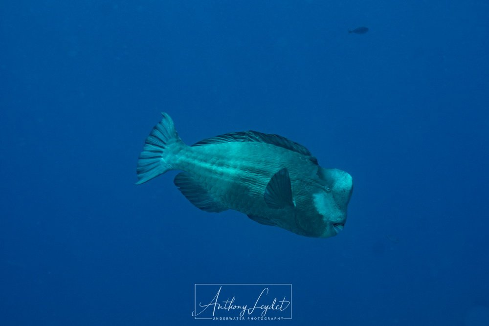 Bumphead parrotfish in Tubbataha