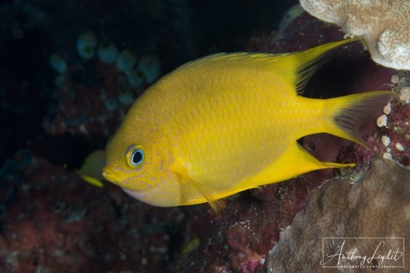 Golden damselfish (Amblyglyphidodon aureus)